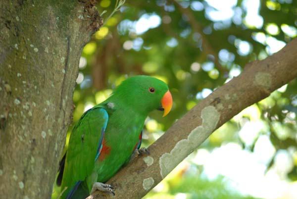 Galeries de photos d 39 oiseaux kangourou et koala prises en for Oiseau vert et rouge